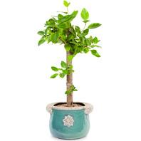 뱅갈고무나무(고급분)