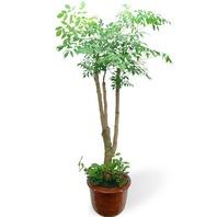 해피트리 관엽