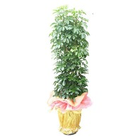 홍콩야자수 관엽